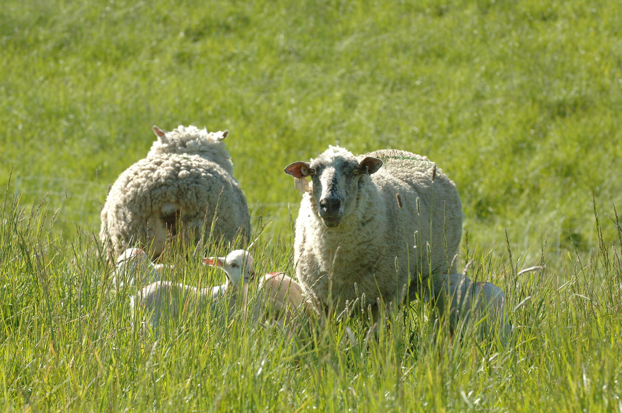 Sheep grazing in a pasture.