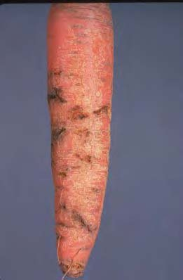 Carrot Rust  Figure 1. Carrot rust fly damage to roots.