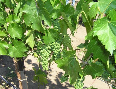 Cluster of grapes at the Ranch at the Canyons in Terrebonne, Oregon. Photo by Dana Martin