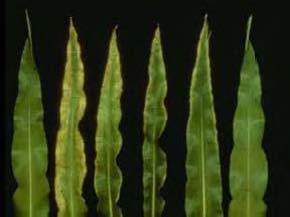 Potassium deficiency symptoms in corn. Normal corn leaf on the left, followed by most severe symptoms to least severe symptoms as you progress right  Picture by George Rehm and Michael Schmitt, University of Minnesota